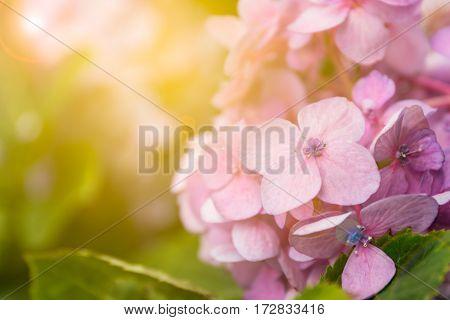 Close up Pink Hydrangea in the garden