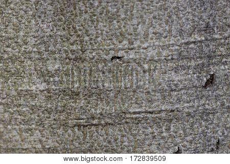 Close up of bark of an American beech tree
