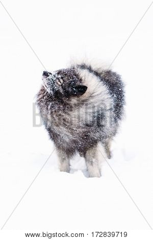 Keeshond dog shakes the snow from wool. Winter