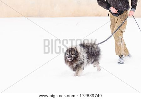Beautiful Keeshond dog running in the snow in front of his master