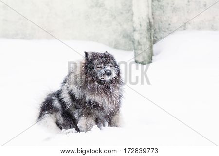Beautiful young dog Keeshond with snow on his face sitting in a snowdrift on the ground. Winter