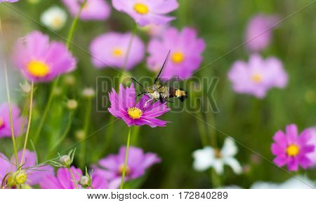 Sphingidae Or Pellucid Hawk Moth Or Hummingbird Hawk Moth, Resemble Hummingbirds And Butterflies Dis