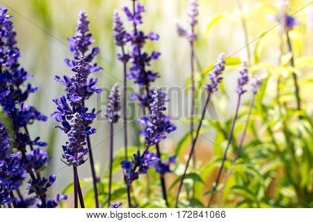 Blue Salvia flowers in natural green garden.