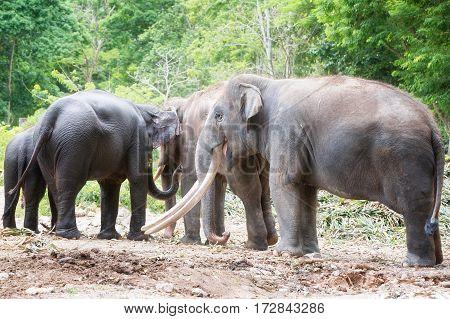 Family of Asian elephant in Khao Yai National ParkThailand