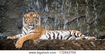 Tiger sit in deep wild animal and jungle concept.