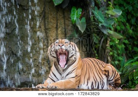 Tiger's face with bare teeth of Bengal Tiger in deep jungle