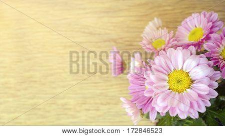 Spray Type Of Pink Chrysanthemum In Closed-up.