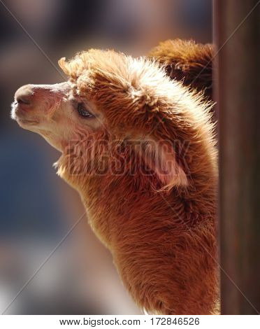Portrait of brown alpaca on the blurred background. Sweet and cute animal photo.