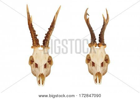 The European roe deer Capreolus capreolus skull with antlers isolated on white background. Hunting trophy prepared for exhibition.