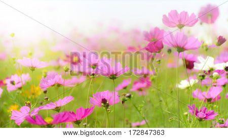Pink cosmos field in soft light tone.