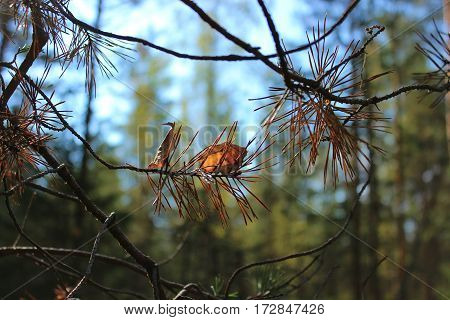 spruce branch, forest, spruce needles, nature, autumn forest