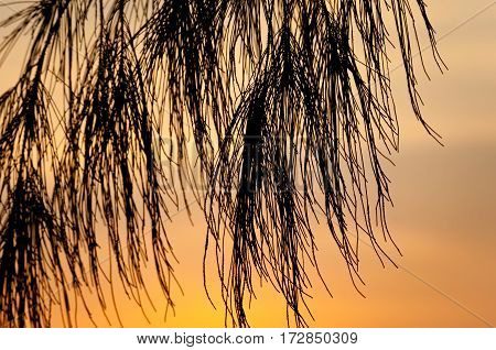 Casuarina tree branch silhouette on sunset background