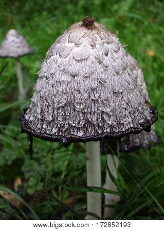 edible grey  fungus shaggy ink in Germany