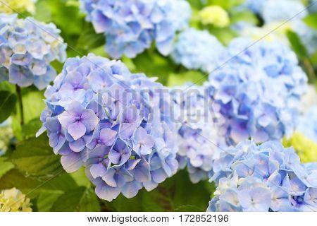 hydranga in uk garden, blue bushy plant