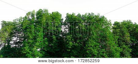 Green bush leaves tree forest isolated on white background
