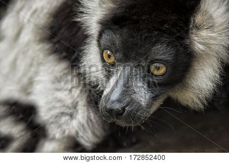 Close up portrait of a black and white ruffed lemur looking alert with large detailed eyes