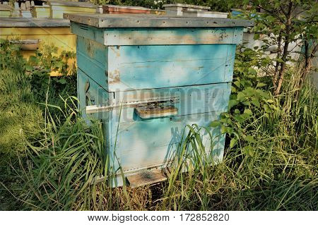 Old blue beehive with bees at the apiary in the garden