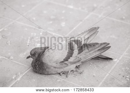 Closeup sick dove on dirty brick floor textured background in black and white tone