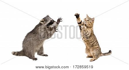Playful raccoon and cat, standing on his hind legs, isolated on white background