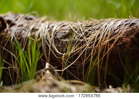 Young green grass and dry grass on a trunk in the forest