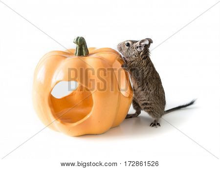 Cute degu as a pet from Chile and its little house that looks like pumpkin