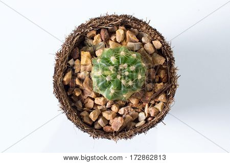 the cactus: the echinopsis in coir pot on white background