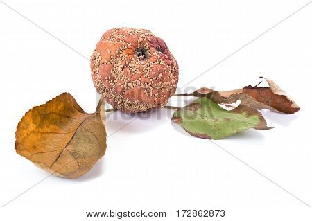 Rotten sick apple isolated on white background