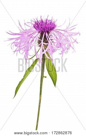 Plant knapweed closeup isolated on white background