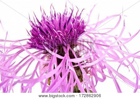 Plant knapweed closeup isolated on white background