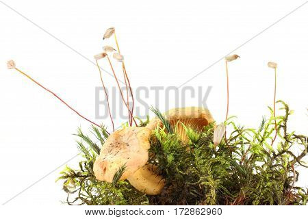 Moss a haircap and mushrooms of Chanterelle are isolated on a white background