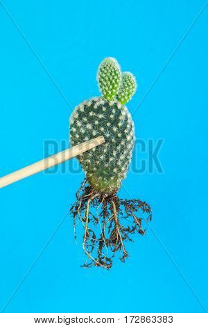 the cactus: opuntia microdasys by chopsticks on blue background