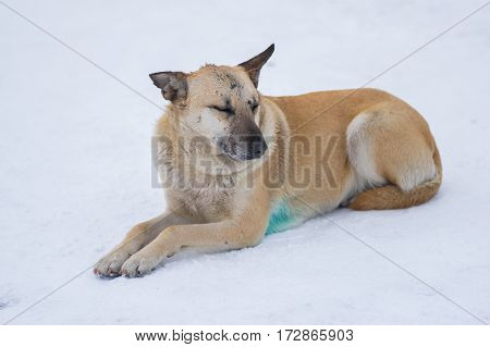 Cute mixed breed stray dog with scars on the snout lying on a snow