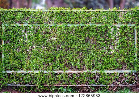 old rusty fence of metal mesh, covered with green shrubs, creating a soft background of trees