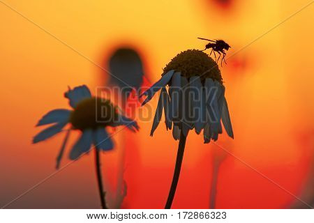 Fly Sitting On Camomile Blossom At Sunset
