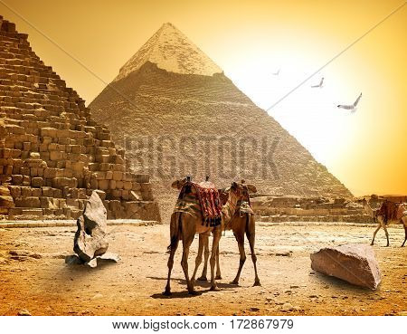 Camels and pyramids at the hot sunny evening