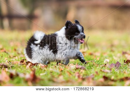 Elo Puppy Running On The Meadow