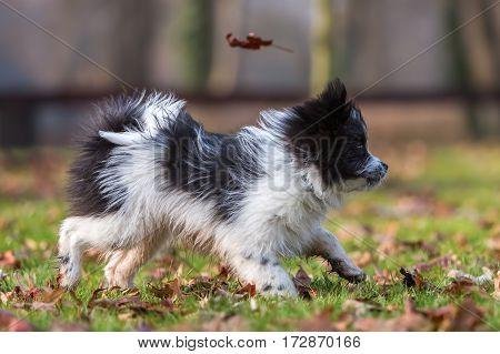 Elo Puppy Walking On The Meadow
