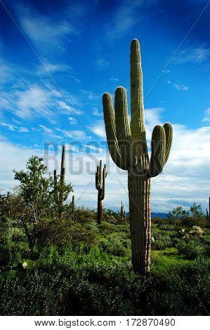 Detail cactus cacti in Arizona desert