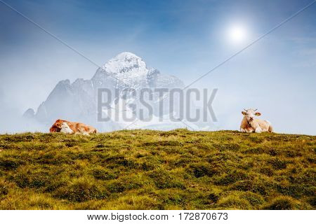 Cows relax on alpine hills in sun beams. Picturesque and gorgeous day scene. Location place Berner Oberland, Grindelwald, Switzerland. Artistic picture. Discover the world of beauty.