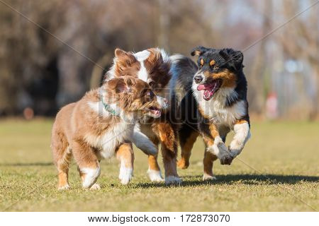 Australian Shepherd Dogs Running On The Meadow
