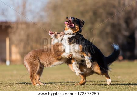Dogs Jumping Against Each Other