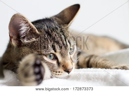 Gray tabby young cat resting on white towel