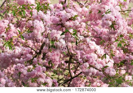 Spring blooming pink flowers on tree, nature background, horizontal