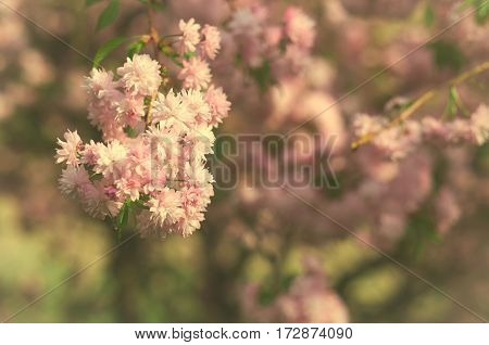 Spring blooming pink flowers on tree, nature background, horizontal, toned