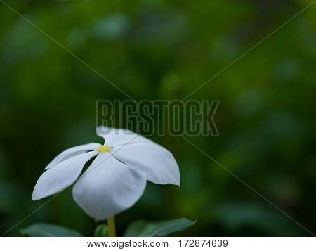 White flower on green background.Closeup one white flower