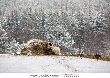 Animals around the hay stacks on a farm in the low Middle Ural Mountains near the village Visim in Sverdlovsk region of Russia.