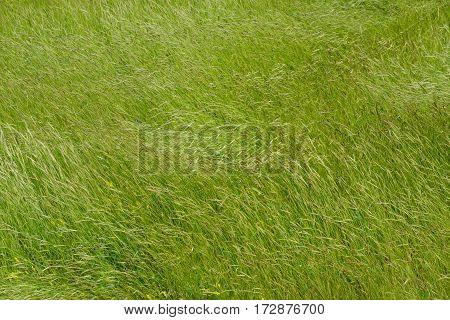 Green meadow background. Spickelets swing in the wind.