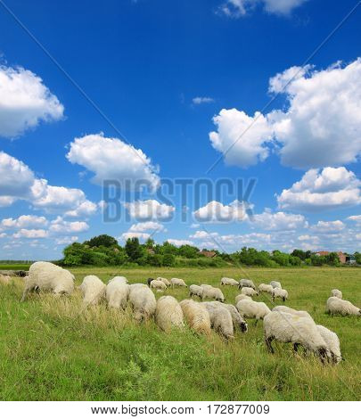Sheep and green grass
