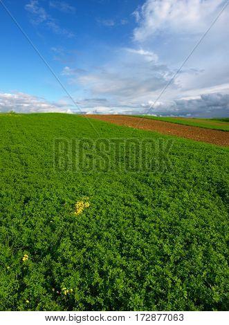 green clover field
