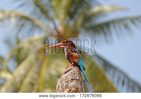 Sri Lankan White-throated kingfisher is sitting on the wood. Wild bird against blur palm leaves background.